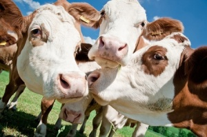 happy alkaline cows