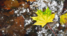 maple leaf in water